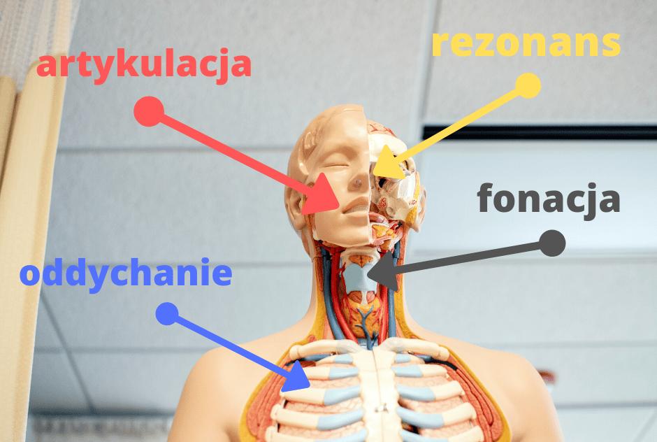 fantom z częściami ciała, które biora udział w emisji głosu